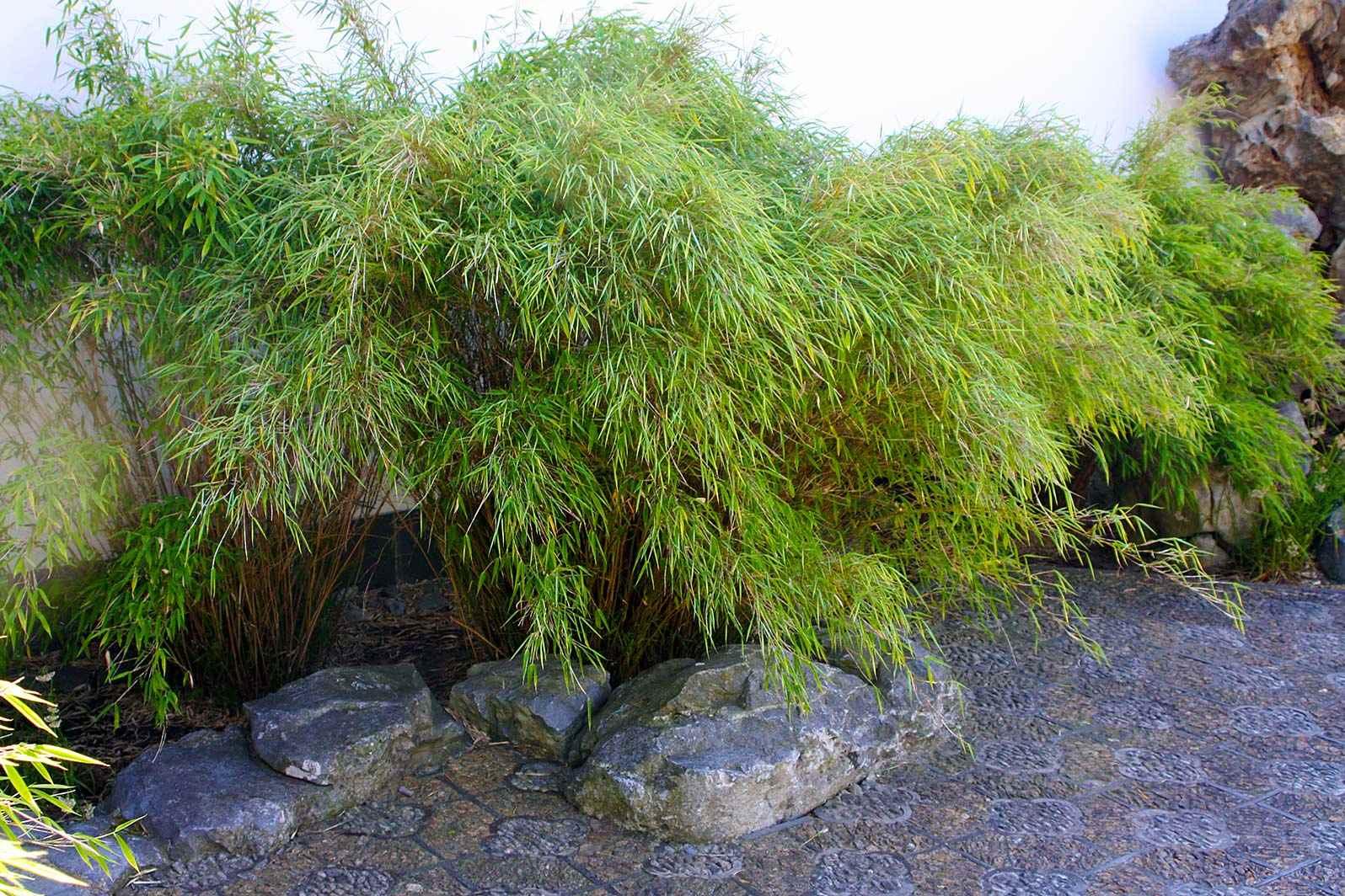 100 bambus garten die besten 25 giant bamboo ideen. Black Bedroom Furniture Sets. Home Design Ideas