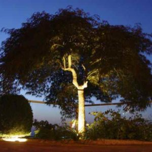großer Baum abends