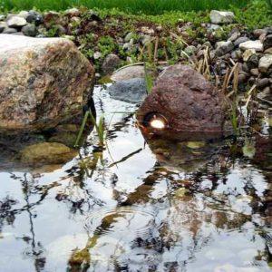 Teichstrahler halb im Wasser